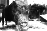 Meet Vinnie Kircher of Jaill's Prized Vietnamese Pot-Bellied Pig, Piggles