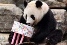 Adelaide Panda Funi Celebrates First Australian Birthday