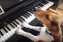 singing-piano-dog-buddy-mercury-1492793445