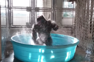 This Gorilla Is Dancing Like He's Never Danced Before