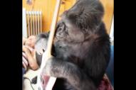 Flea Collaborator Koko the Gorilla Dead at 46