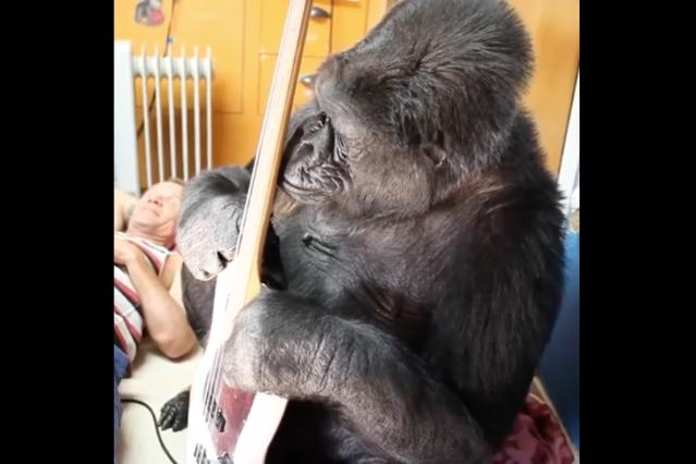 how to meet koko the gorilla